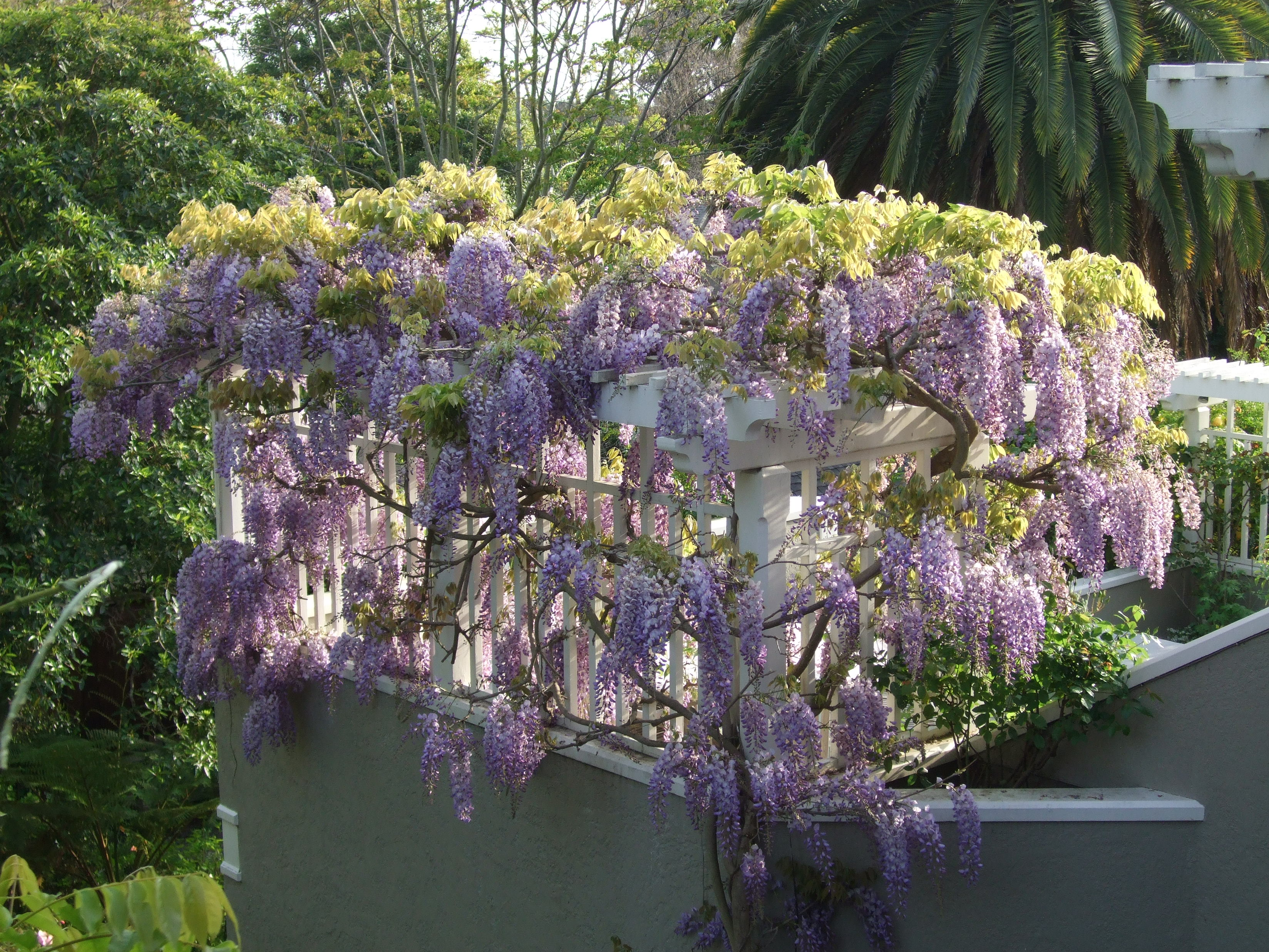 Minding the garden gap for The wisteria