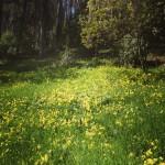 Oxalis field