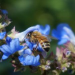 Bee on Blue Salvia