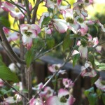 New Pink Dogwood Planted Easter Weekend 2015