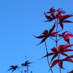 Red maple leaves against an April sky